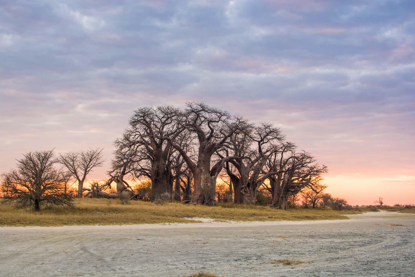 Baines Baobabs Nxai Pan