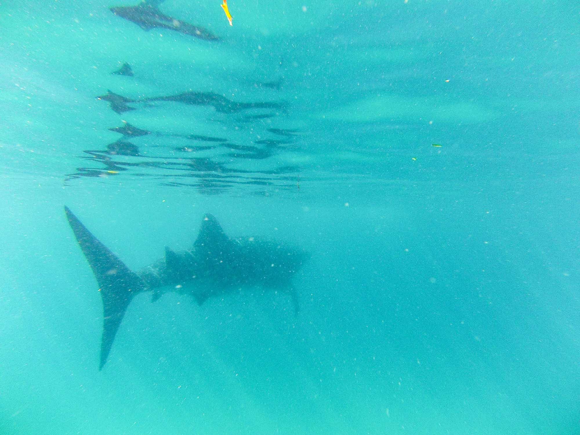 Whales Sharks Mafia Island