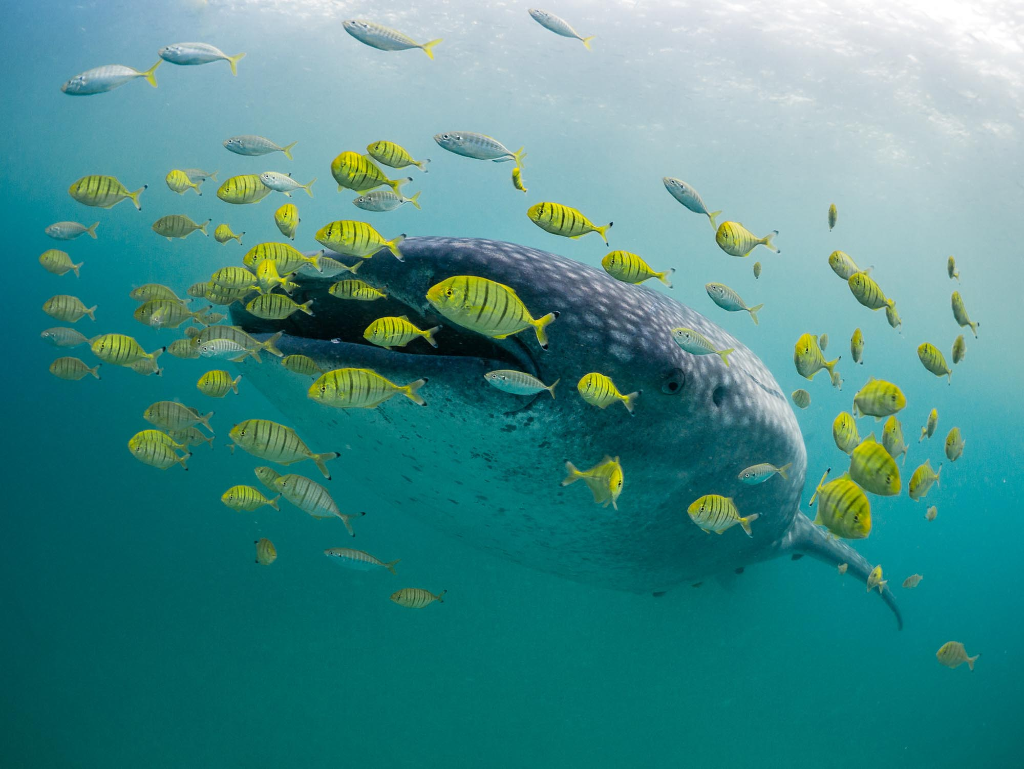 Whale Shark Golden Trevallies