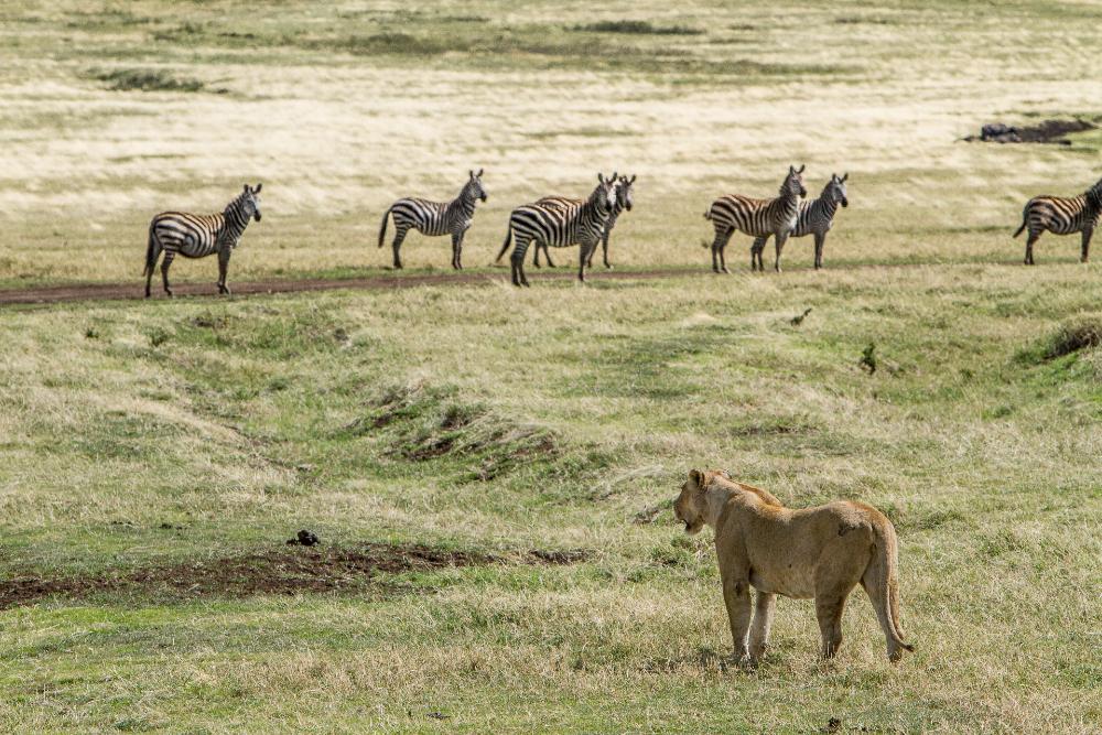 Lion eyeing up zebra in the Ngorongoro Crater