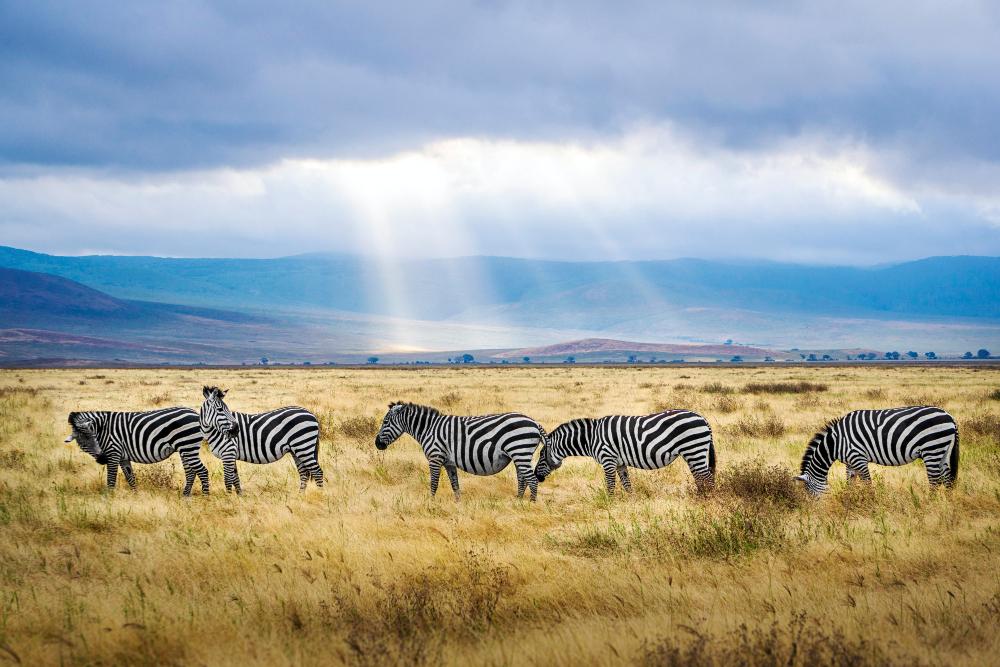Zebra grazing in the Ngorongoro Crater