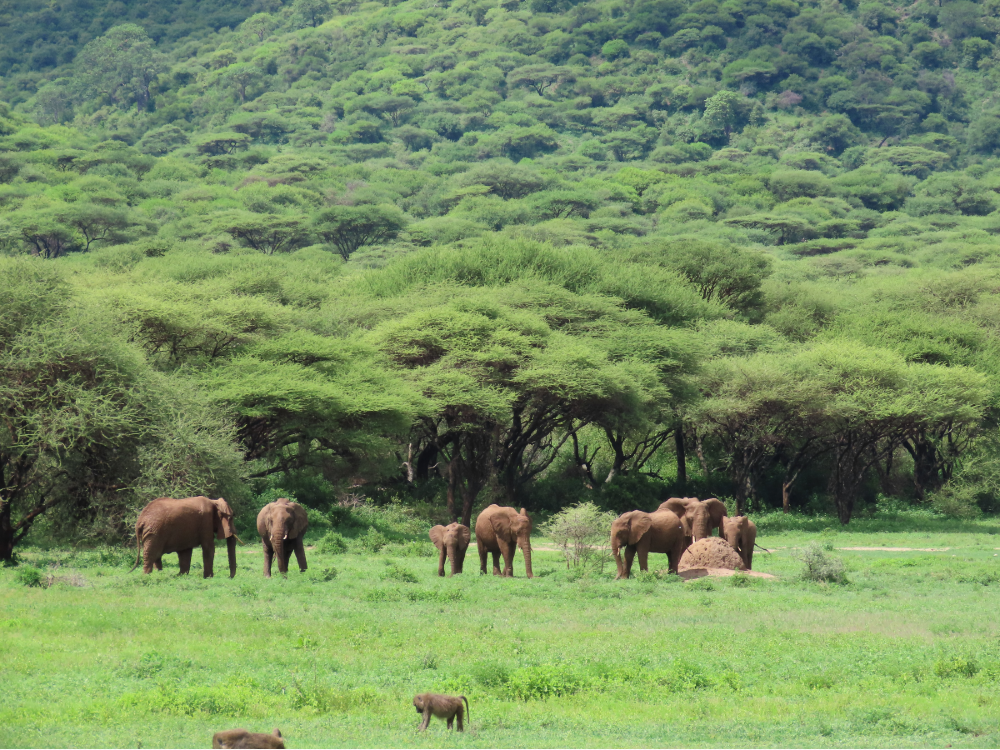 The forested sector of the Ngorongoro Crater, loved by elephants