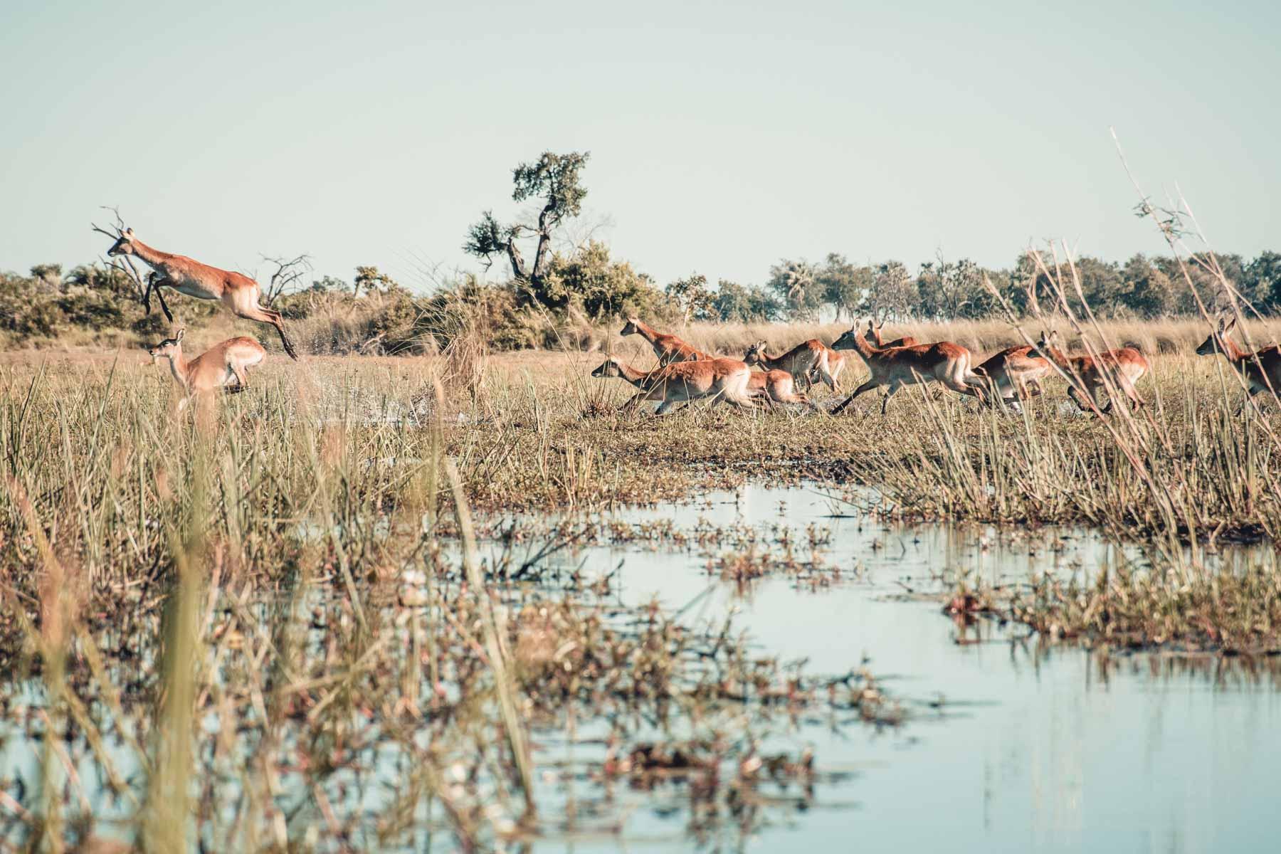 Lechwe Okavango Delta