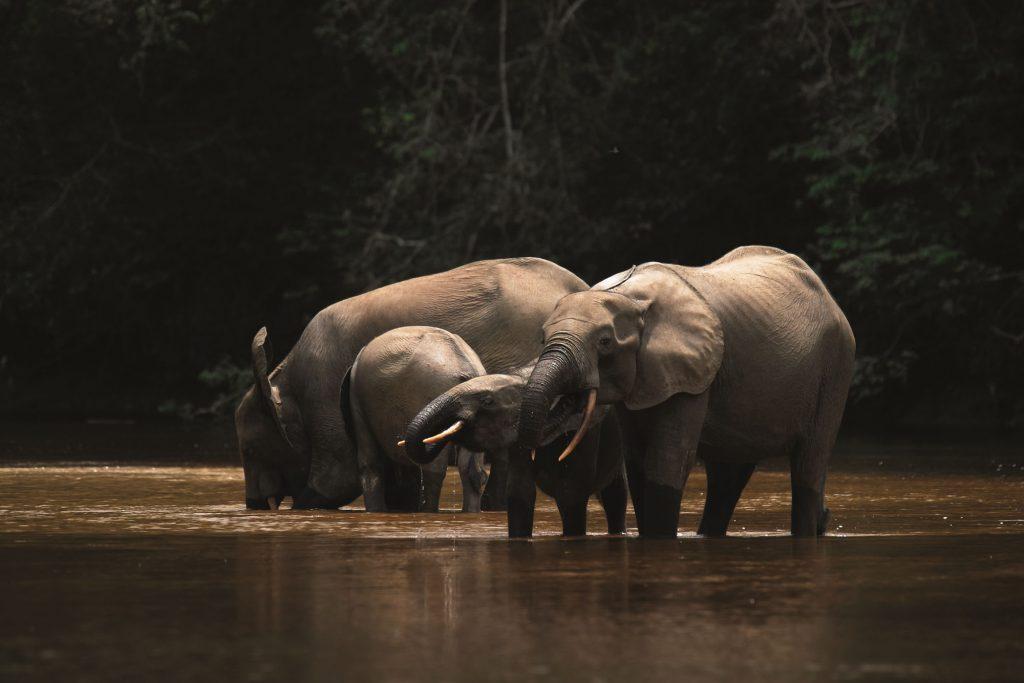 Forest elephant Gabon