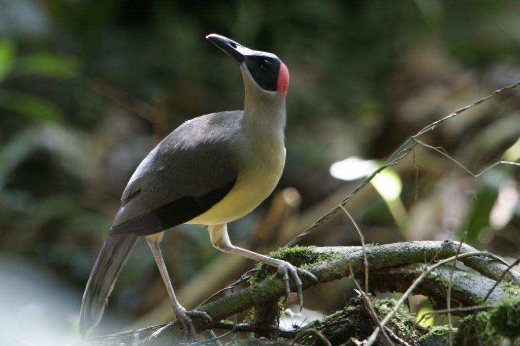 Gabon Birds