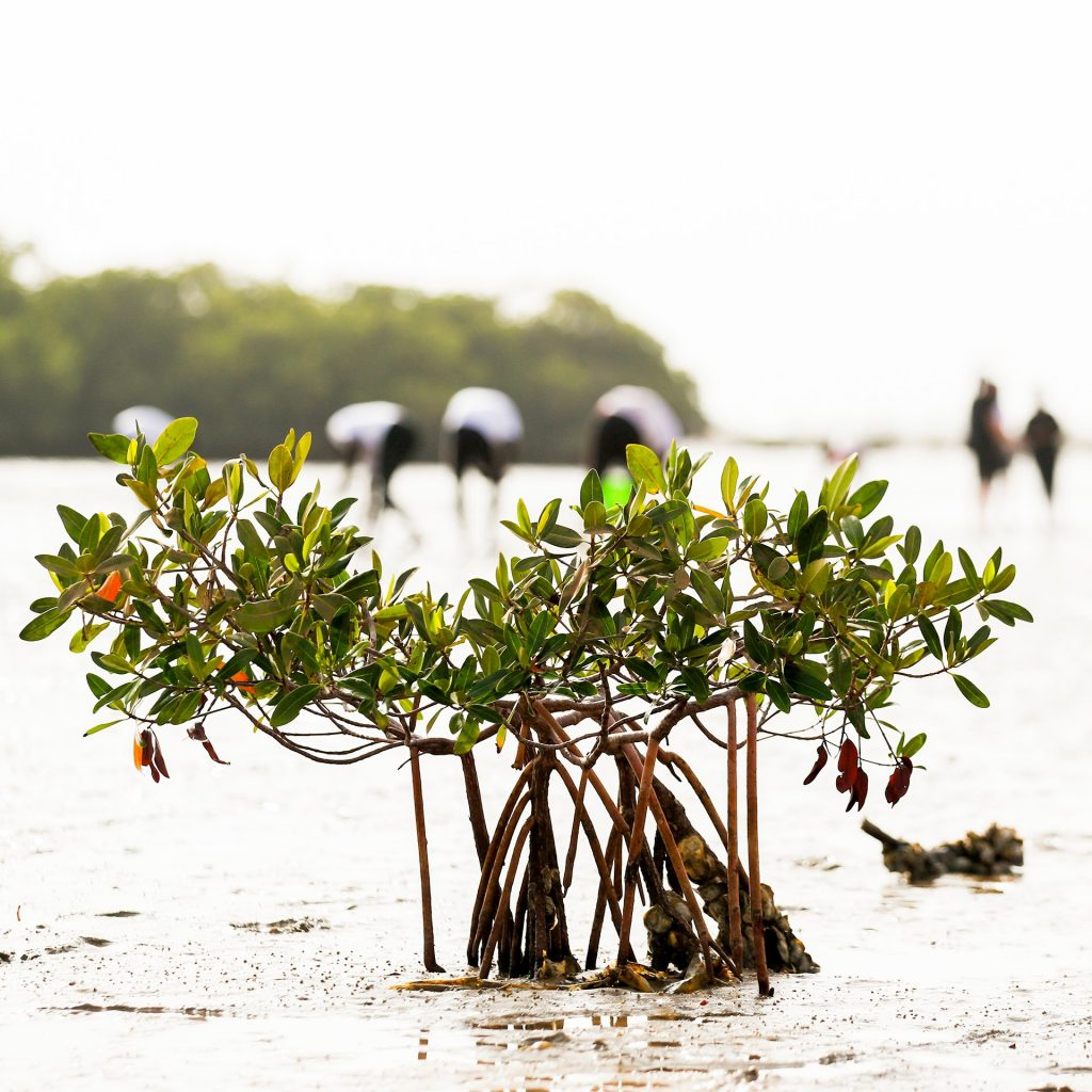 mangrove forest rehabilitation in lac rose