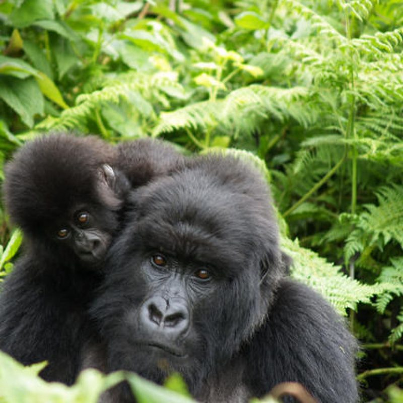 header gorilla